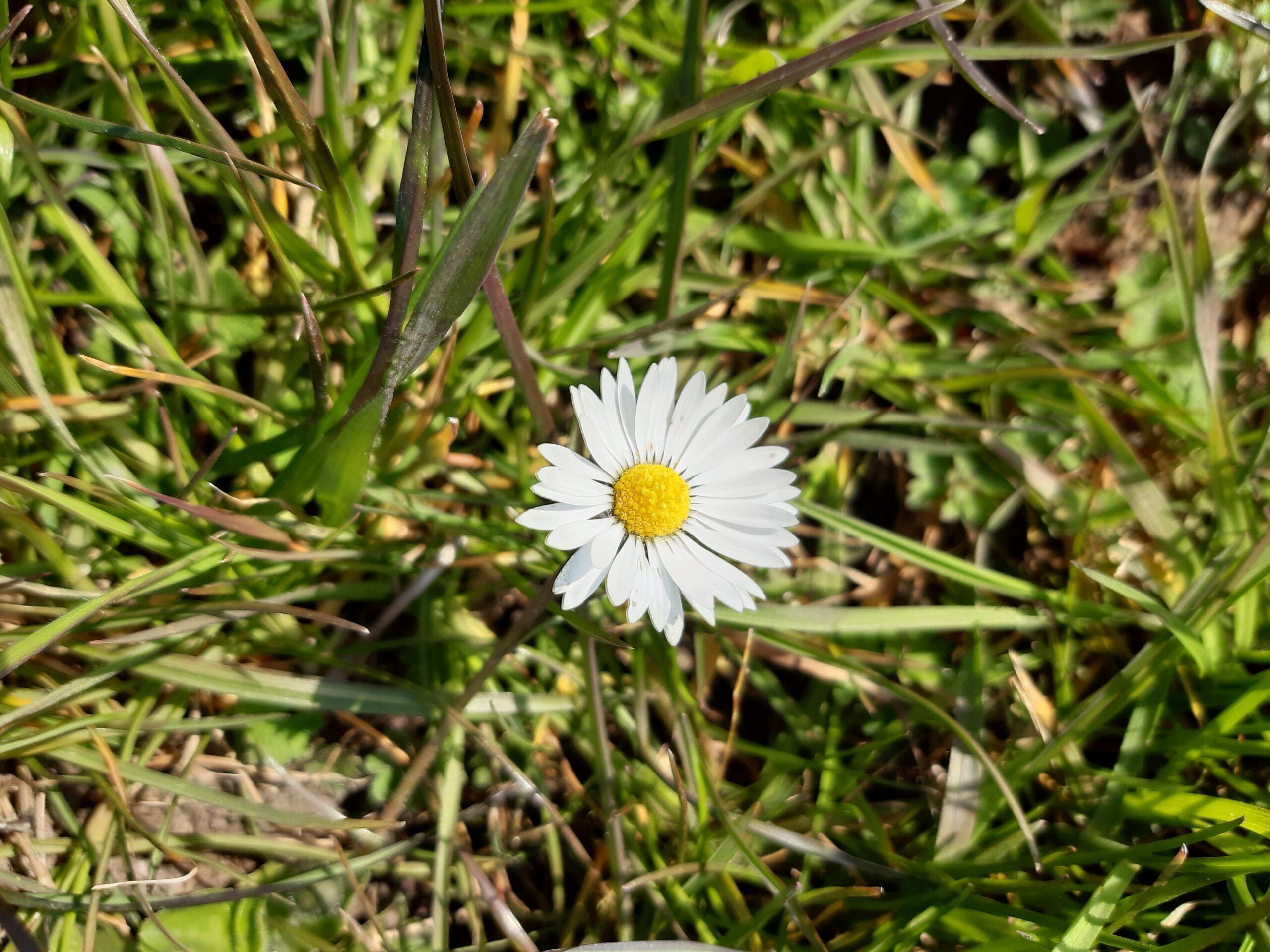 Foto Gänseblümchen auf Rasen, fotografiert an der Hunte in Oldenburg